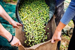 Praznik oljke na Braču in Mandarine