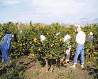 Obiranje mandarin v dolini Neretve 3 dni